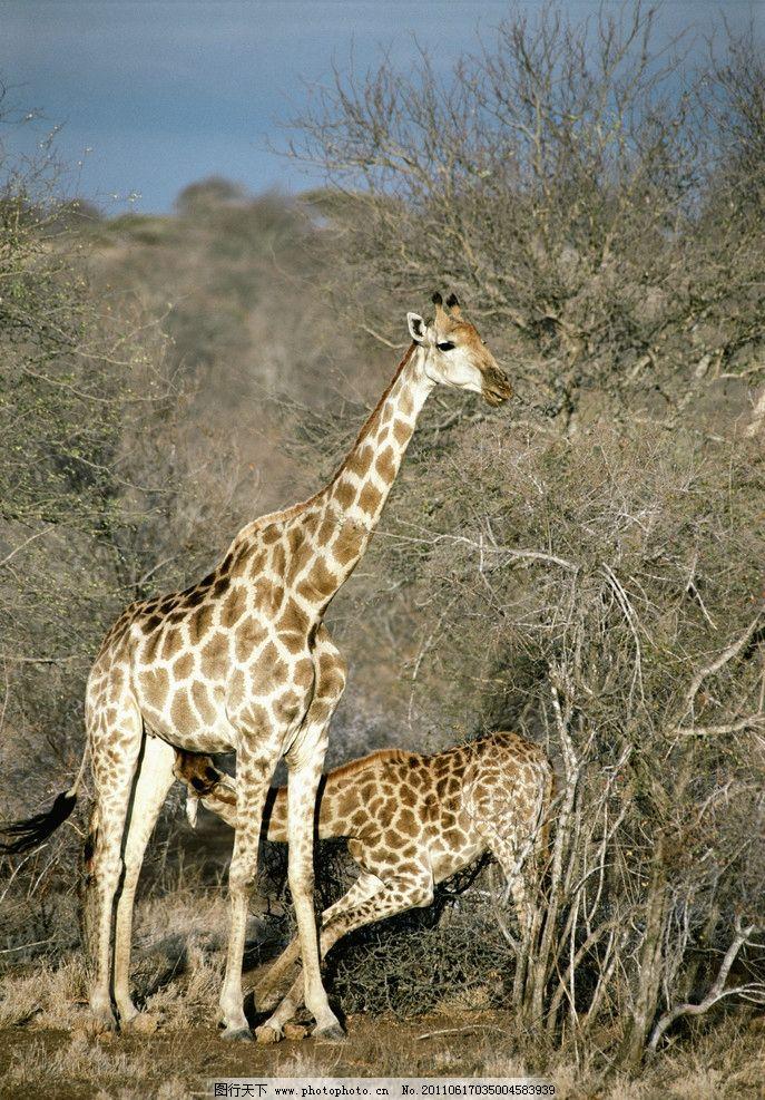 长颈鹿 动物摄影 非洲草原 动物图片