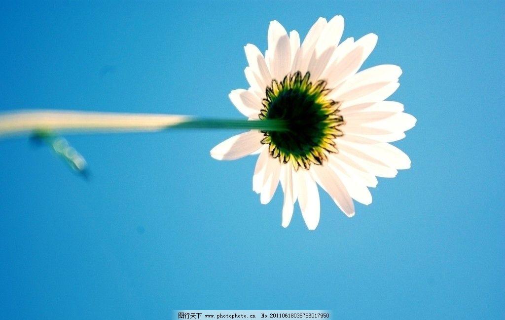 小花 小菊花 白色花 白花 植物 花草 蓝天 生物世界 摄影 72dpi jpg