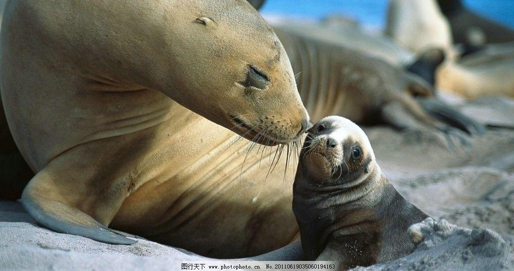 海豹 阳光 温暖 怀抱 母爱 依偎 野生动物 生物世界 摄影 72dpi jpg