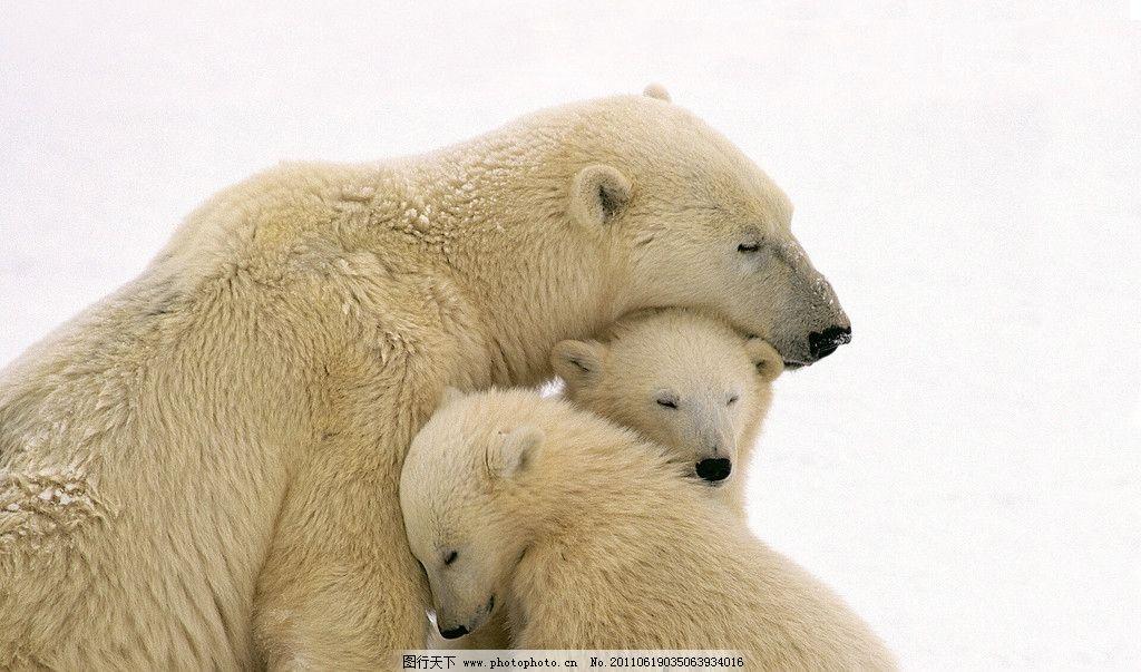 北极熊 三只北极熊 温暖