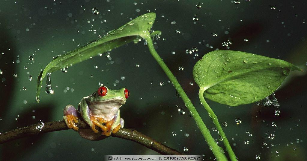 红眼树蛙 热带雨林 雨滴 野生动物 碧叶 可爱动物 生物世界 摄影 72dp