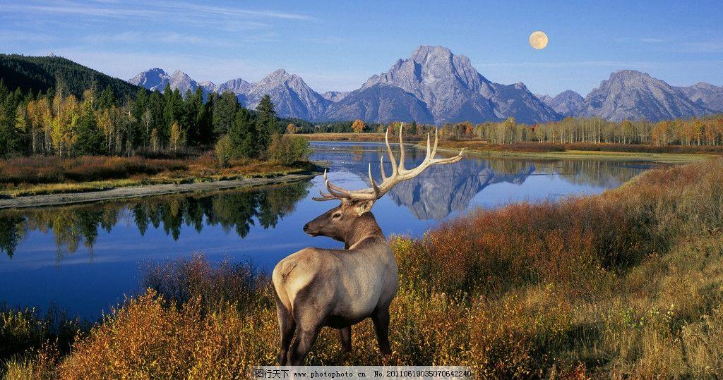 驯鹿 湖光山色 大自然 美丽景色 高山 月亮 湖泊 野生qq怎么弄指定红包 生物世界