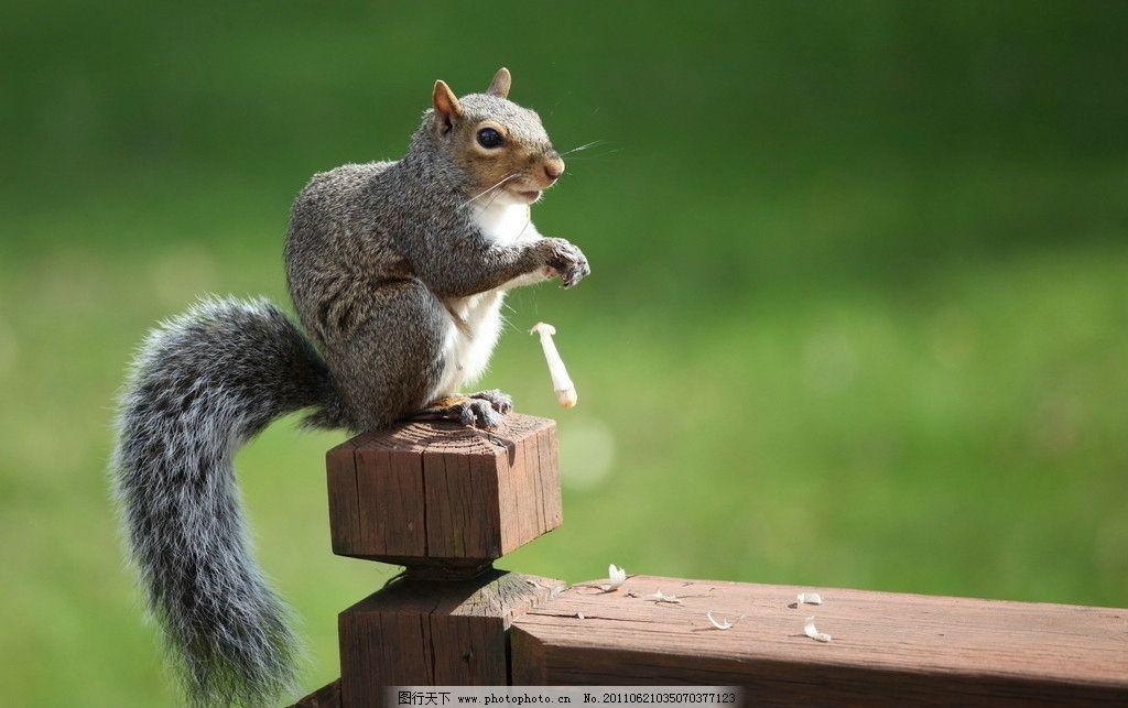 松鼠      草地 野生动物 生物世界 摄影 350dpi jpg