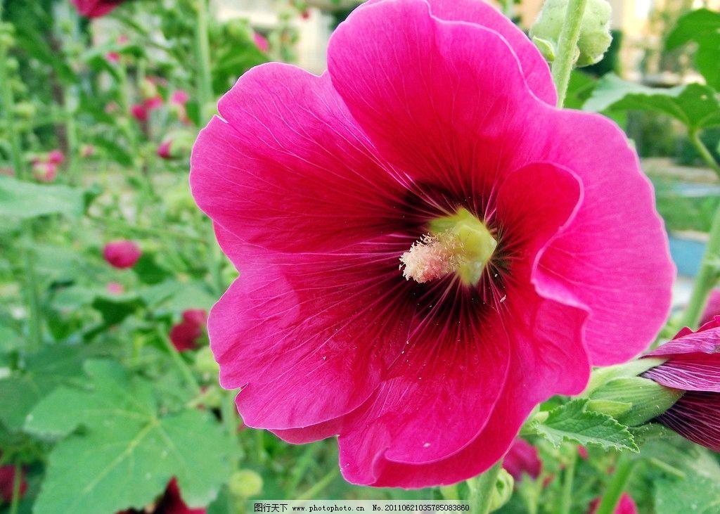 红色木槿花图片