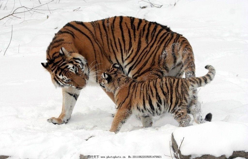 东北虎 虎母子 老虎 野生动物 生物世界 摄影