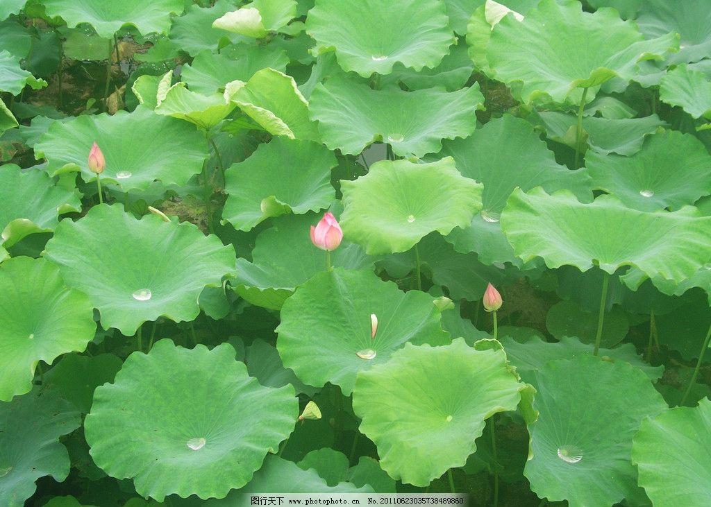 荷花池 花卉 花朵 荷花 荷叶 花蕾 水珠 花草 生物世界 摄影 72dpi
