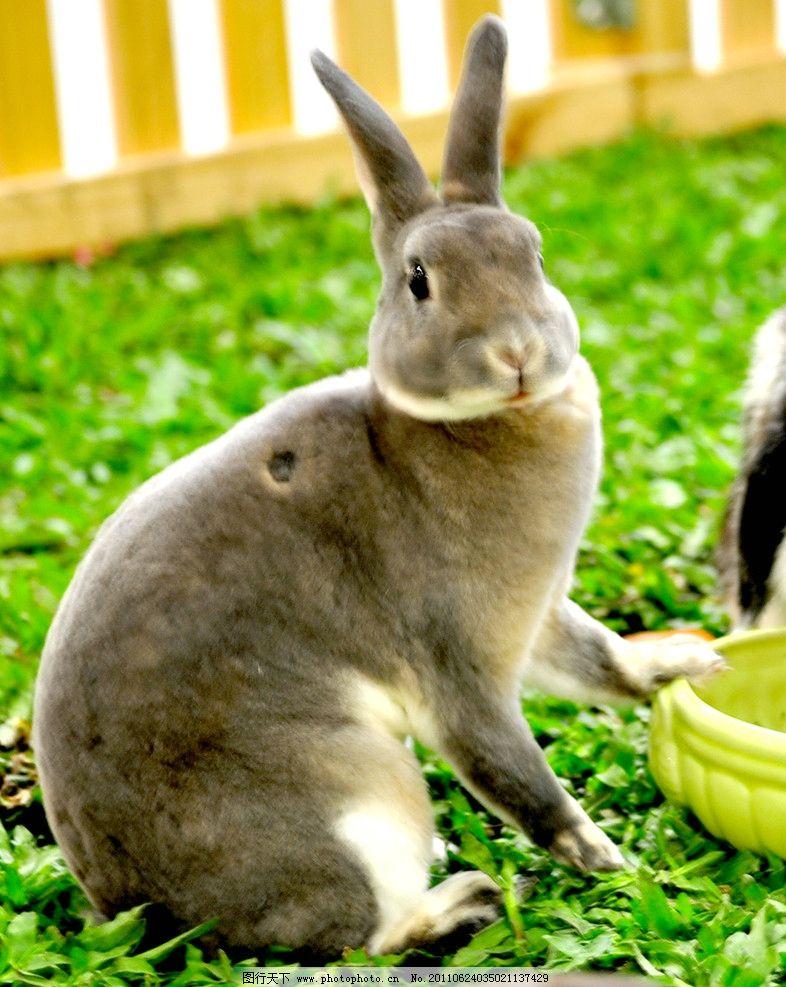 兔子 野生动物 灰兔 草地 生物世界 摄影 300dpi jpg