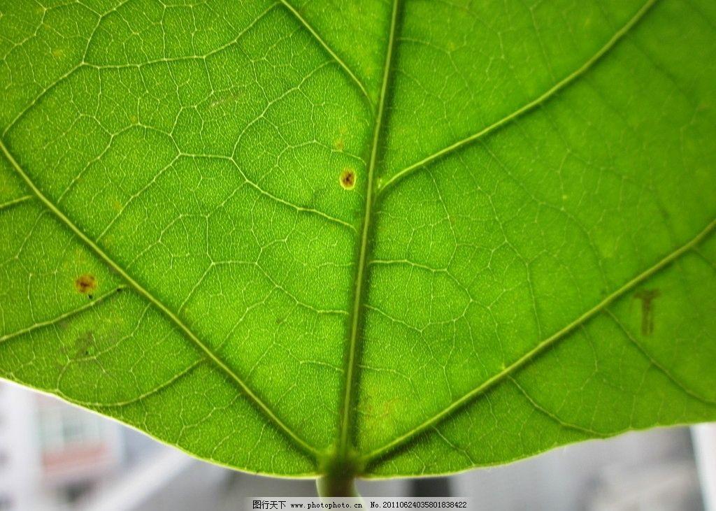 梧桐叶 绿色 叶子 茎秆 树木树叶 生物世界 摄影 180dpi jpg