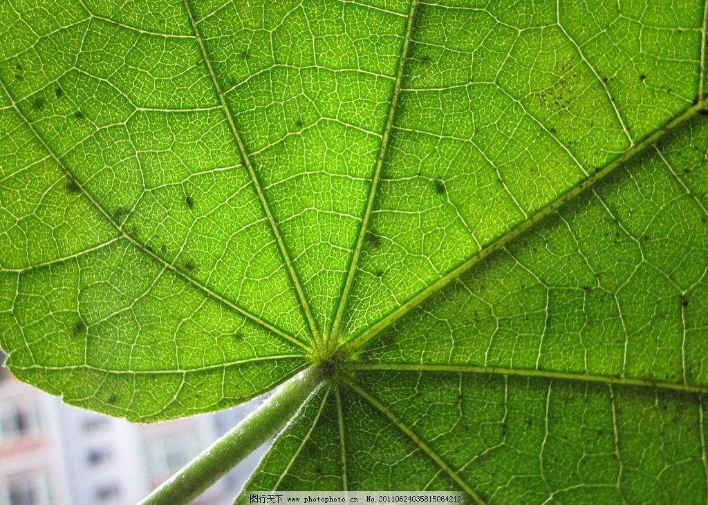 梧桐叶 绿色 叶子 树木树叶 生物世界 摄影 180dpi jpg