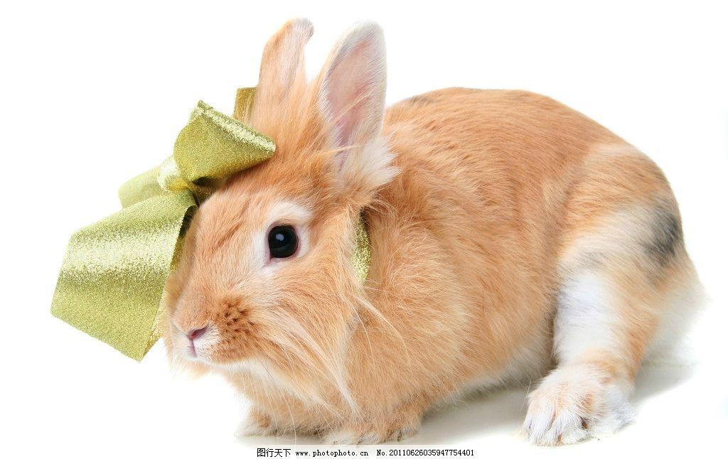 可爱 宠物 兔子 野兔 兔 耳朵 家兔 小兔子 生物世界 家禽家畜 动物