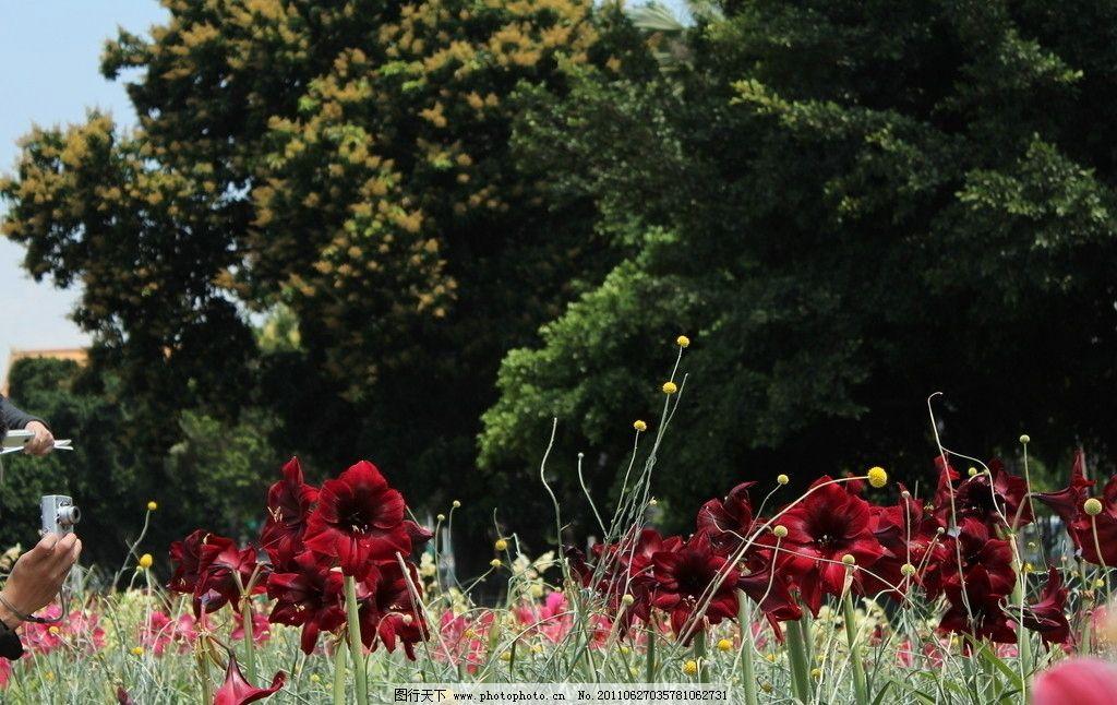 花朵 美丽 花丛 花海 红色 大树 小树 绿叶 花草 花博 生物世界 摄影