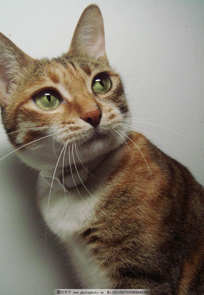 小猫 大眼睛 凝望 注视 虎纹 黄猫 家禽家畜 生物世界 摄影 72dpi jpg