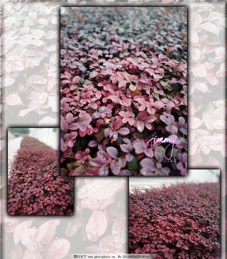 树叶 露水 红 叶子 美 植物 红叶子 树木树叶 生物世界 设计 300dpi