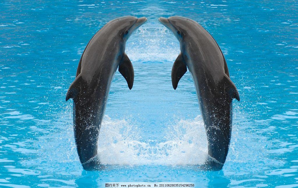 海豚 嬉戏海豚 嬉戏 动物摄影 水中生物 可爱 清澈的水 海洋生物 海豚