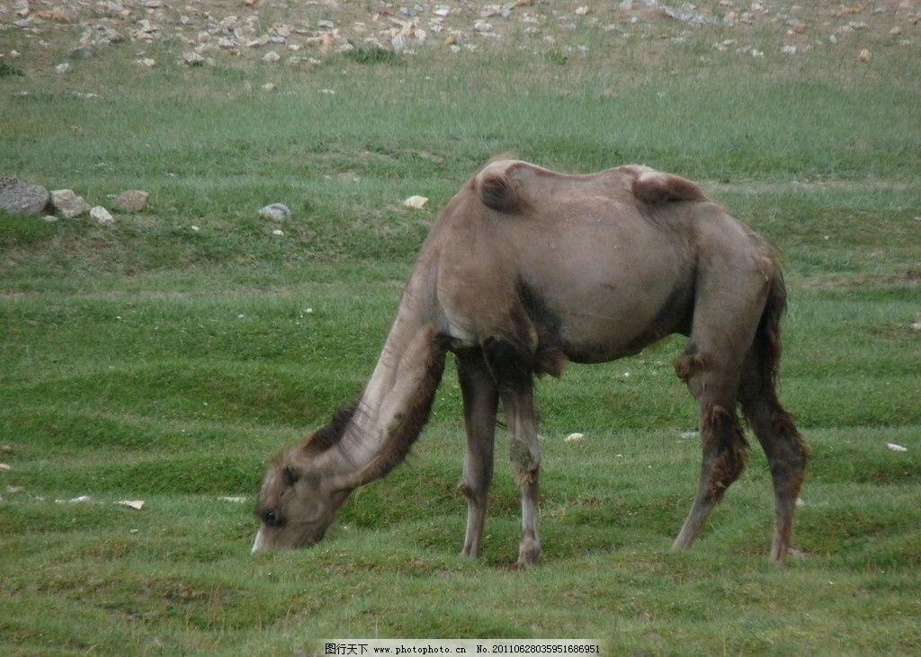 新疆骆驼 动物 沙漠 家畜 摄影