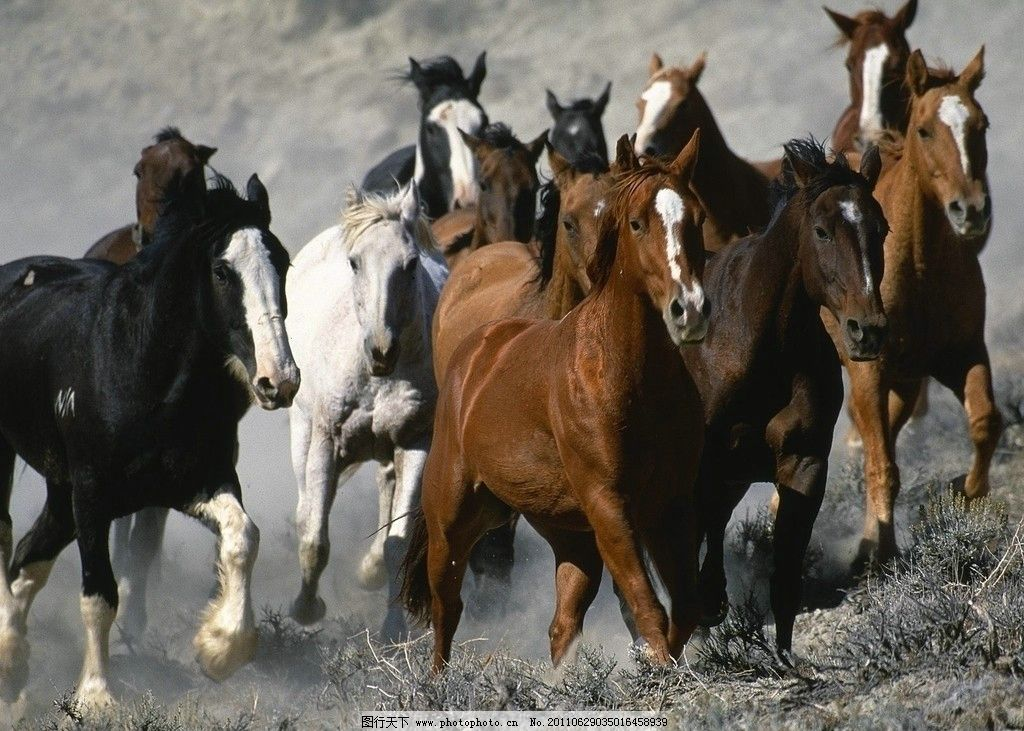 奔跑的马 马群 地面 奔跑 野生动物 生物世界 摄影 72dpi jpg
