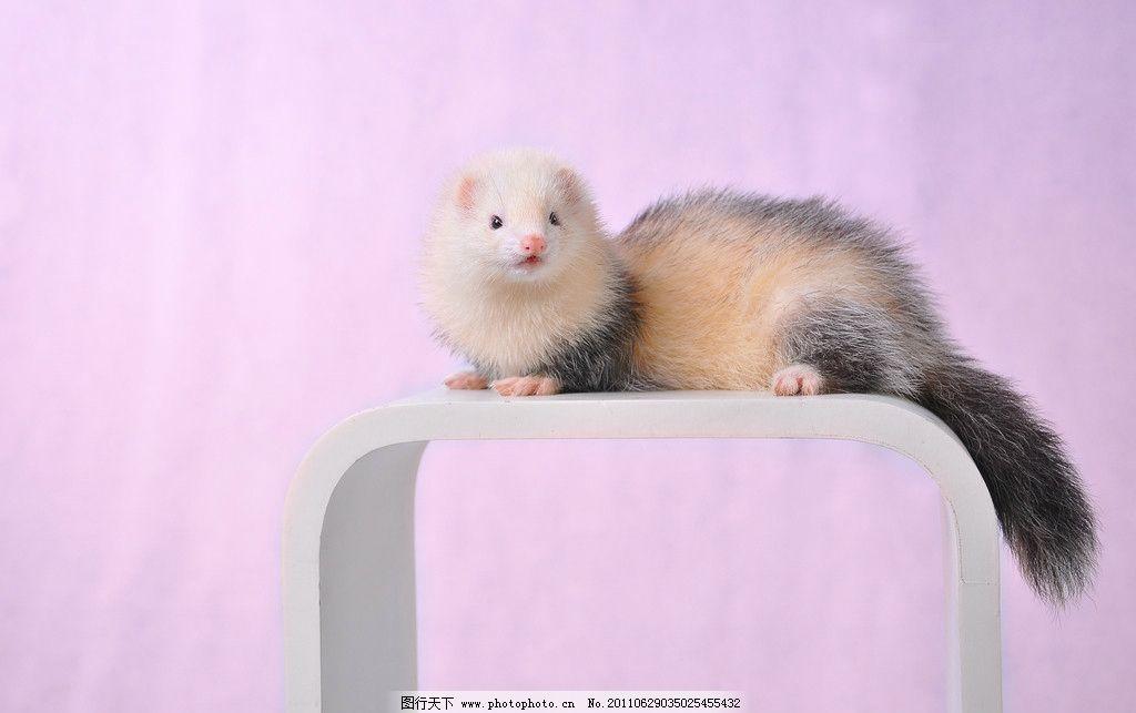 貂鼠 宠物貂 貂 古牧色 宠物 野生动物 生物世界 摄影 300dpi jpg