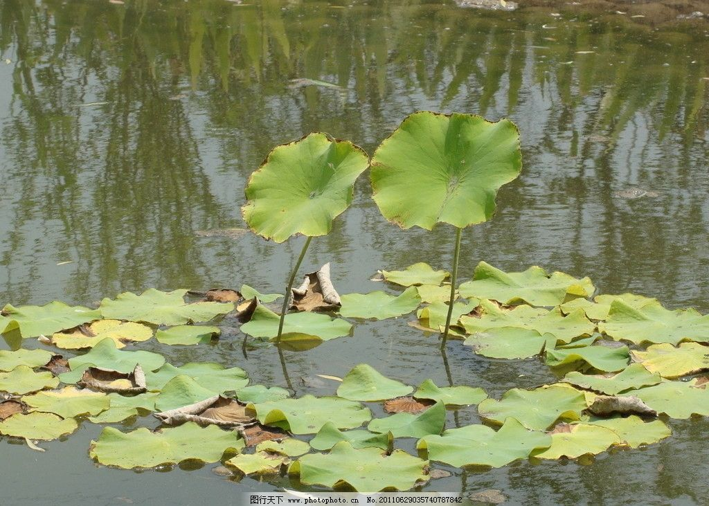 荷叶 两心相依 荷花 水塘 夏天 莲花 莲叶 池塘 摄影