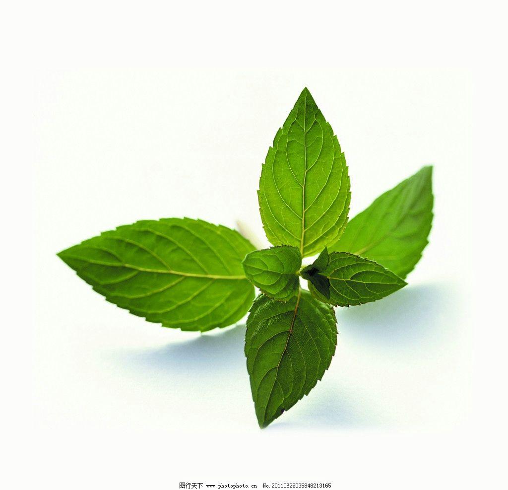 薄荷叶 叶子 薄荷 树叶 叶 树木树叶 香料 生物世界 摄影 300dpi jpg