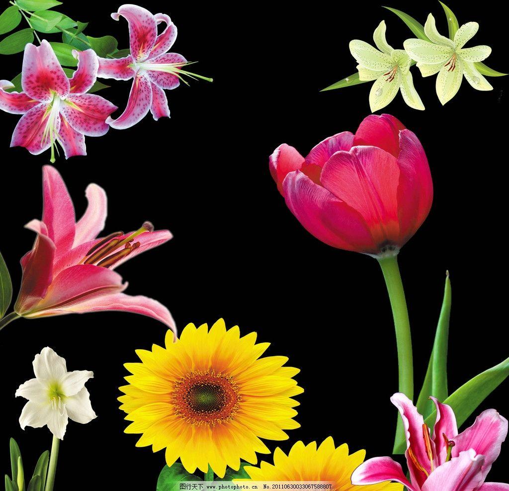 花朵 花 绿叶 百合 向日葵 郁金香 花束 花枝 白百合 红百合 psd 素材