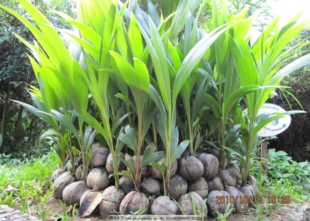 椰子 椰子树苗 海南 椰子树 村苗 树木树叶 生物世界 摄影 180dpi jpg